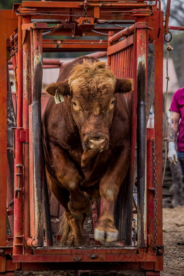 good bull-1